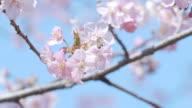 Kawazu Cherry Blossoms and Honeybee,in Showa Memorial Park,Tokyo,Japan video