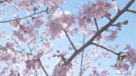 Kawazu Cherry Blossoms,at Showa Memorial Park,Tokyo,Japan video
