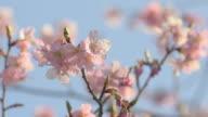 Kawazu Cherry blossoms,in Showa Kinen Park,Japan video
