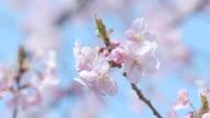Kawazu Cherry Blossoms,in Showa Memorial Park,Tokyo,Japan video