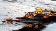 Kelp and Waves video