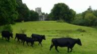 Kerry Cattles Walking In Front Of Muckross Abbey video