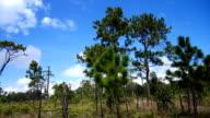 Khasiya pine tree on meadow in mountain video