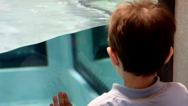 Kid likes watching Humboldt penguins swimming in the pool video