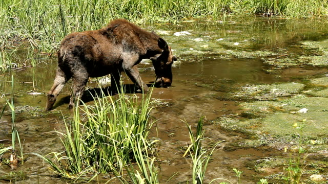 Kid moose feeding in a spring video
