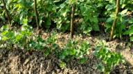 Kidney bean plants seedbed in the garden VIDEO video