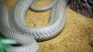 King cobra slither video