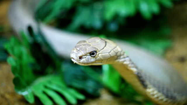 King cobra slither. video
