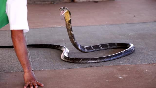 king cobra video