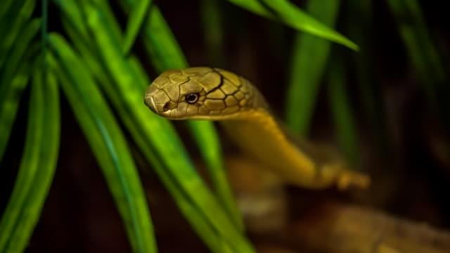 King cobra. video