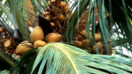 King coconuts on their palm tree; backzoom video