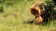 King Lion video