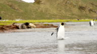 King Penguin on South Georgia Island video