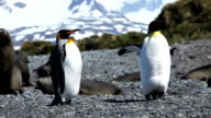 King Penguin video