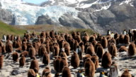 King Penguins Colony video