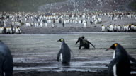 King Penguins in the Mud video