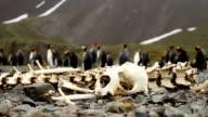 King Penguins South Georgia Island video