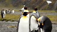 King Penguins South Georgia Island. video