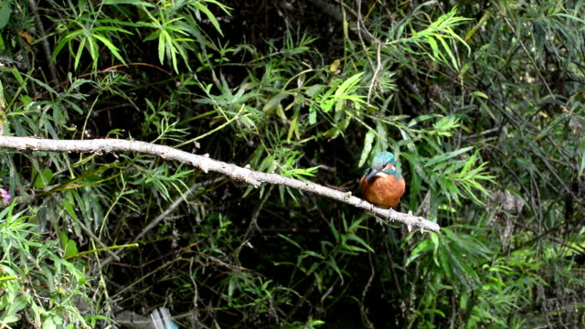 Kingfisher feeding its young video
