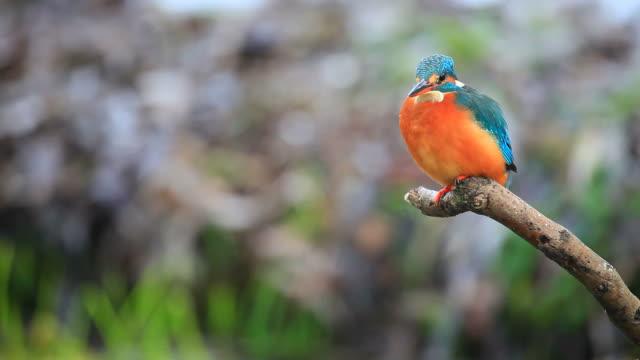 kingfisher video