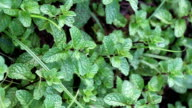 Kitchen Mint or Marsh Mint. video