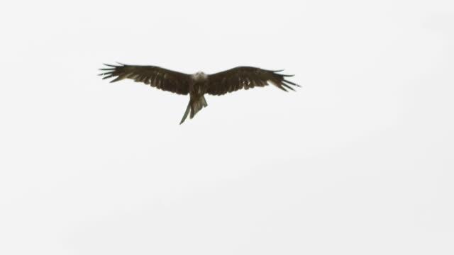 Kite birds of prey video