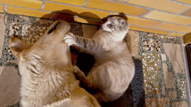 SLO MO Kitten and puppy lying together video