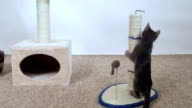 Kitten have fun playing with mouse toy attached to scratching post video