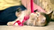 Kitten is playing with a red belt. video