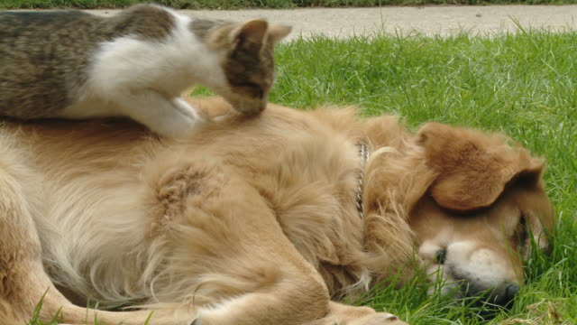 HD DOLLY: Kitten Kneading Dog's Back video
