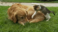 HD: Kitten Playing With Dog video