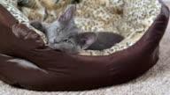 Kitten relaxing in cat bed video