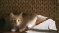 A kitten running from one hiding place to another while a little girl tries to grab it video