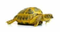 Kleinmann's Tortoise / Egyptian Tortoise video