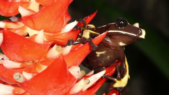 Knocking tree hole frog (Nyctimantis rugiceps) video