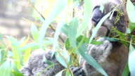 Koala and baby on tree video
