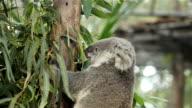 koala bear video