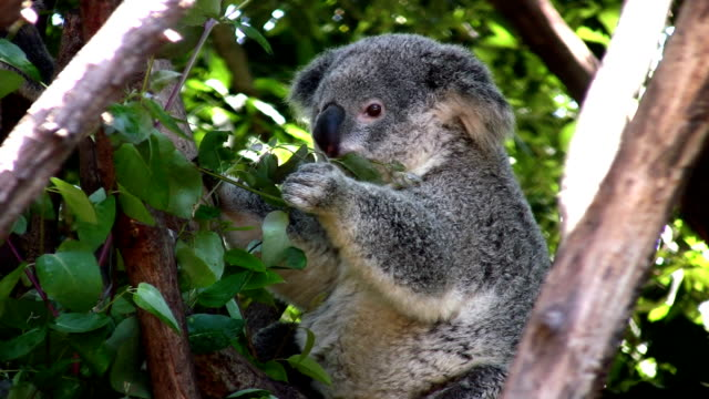 Koala feeding on eucalyptus foliage video