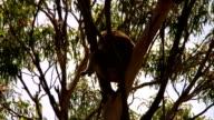 Koala in a tree - Australia video