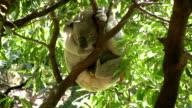 Koala in a tree video