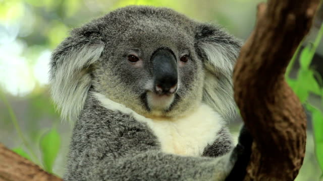 Koala in active moment. video