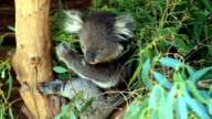 Koala Perched in Tree and Eating Leaves, Australia video