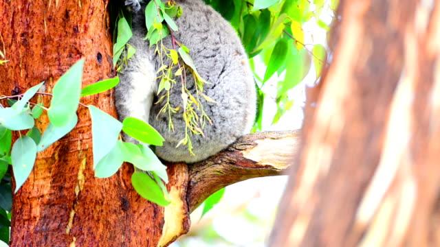 koala video