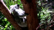 Koala with young video