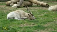 Kob Antelope Laying video