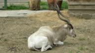 Kob Antelope video
