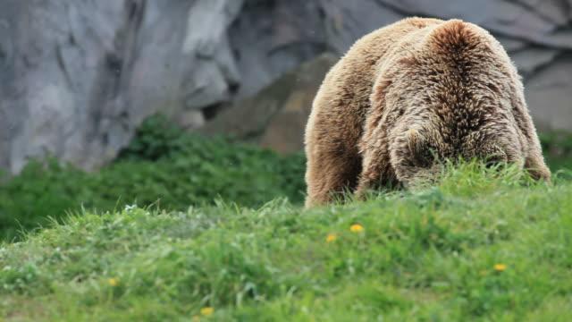 kodiak brown bear video