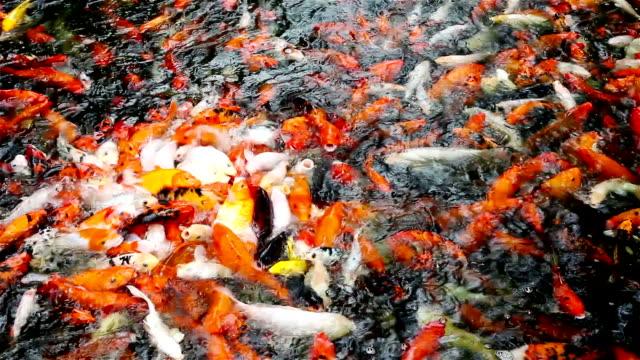 Koi Carp Fish in Pond video