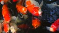 4K Koi Carp Fish video