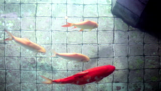 Koi carp fishes in old wishing well pond video